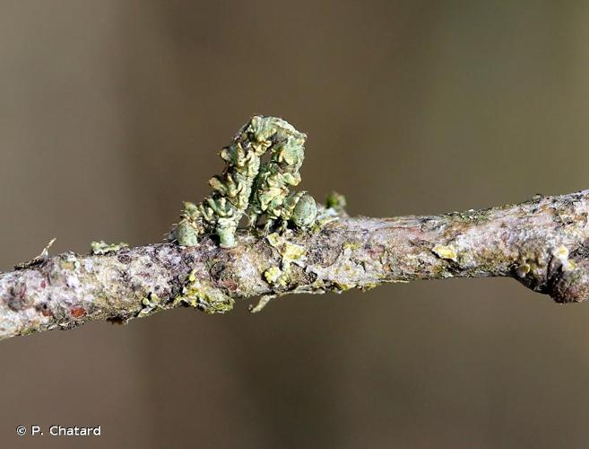 <i>Cleorodes lichenaria</i> (Hufnagel, 1767) © P. Chatard