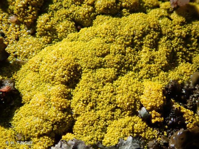 <i>Candelariella coralliza</i> (Nyl.) H. Magn., 1935 © H. TINGUY
